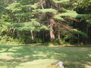 large pine tree with a swoop at the bottom