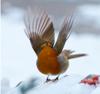 spring bird thumbnail