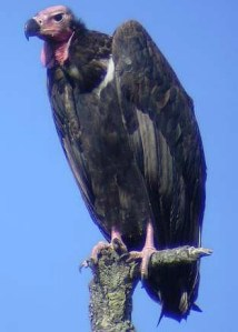 Red-headed_vulture