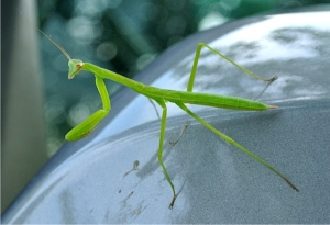 Mantids can turn their heads a full 180 degrees - always keeping their goal in sight.
