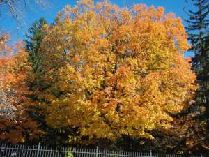 Lisa_Nashua_fall_tree