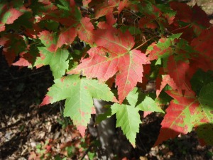 Lisa_GreenAndRed_leaves