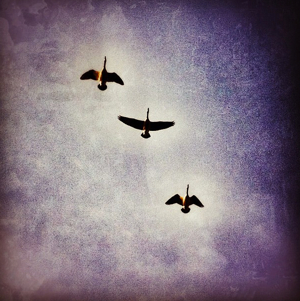 three geese flying