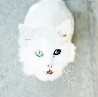 cat two color eyes
