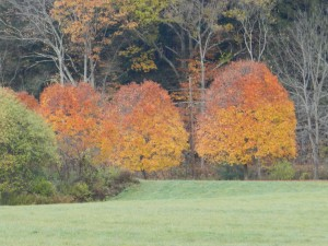 Two-Toned Maples photo: Deborah Lee Luskin