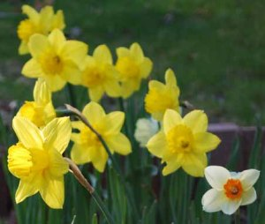 daffodils_april_10_03_edited