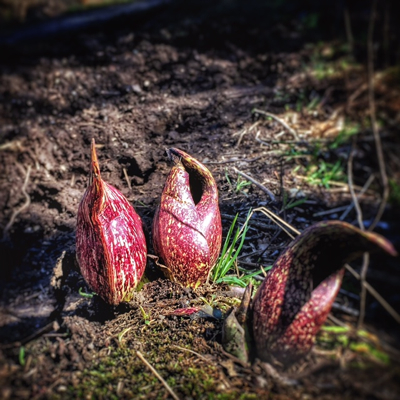A sure sign of spring - skunk cabbage, Mother Nature's little, alien pods
