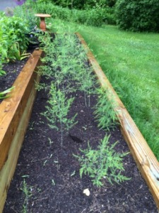 I'm committed to keeping my new asparagus bed weed-free. It will take consistent attention and considerable patience before the asparagus are ready to harvest - just like writing a book.