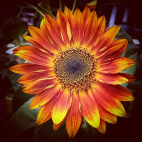 A fiery sunflower to brighten your day.