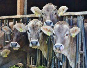 cows-1532909_640