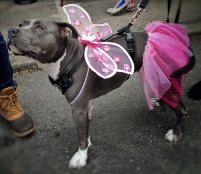 This is Miss Bella. She and her sister (who was dressed as Madonna during her like-a-virgin days) were quite the sensation as they strolled the market with friends helping to raise awareness about the unfair practice of breed-specific legislation such as the pitbull ban that was recently overturned in Montreal, saving the lives of hundreds if not thousands of innocent dogs.