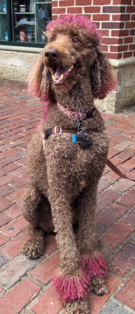 This is Chester, a handsome, eight year0old standard poodle who apparently wears a hot pink mohawk all year 'round.